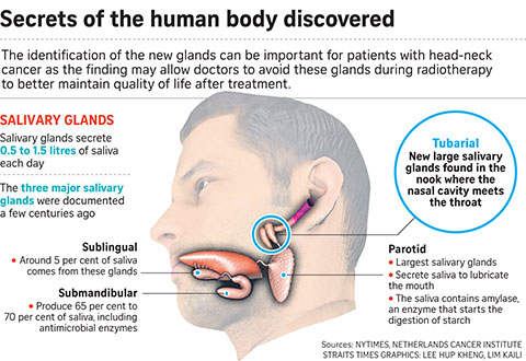 A true Eureka moment: Dutch doctors went from cancer research to discovering new salivary glands
